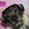 "Jack Russell/Mops Mix ""Bailey"""