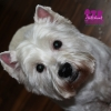 "Westhightland white Terrier ""Beauty"""