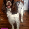 "Engl. Springer Spaniel ""Nelly"""