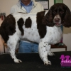 "Springer Spaniel ""Nelly"""