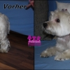 "Westhightland white Terrier ""Toby"""