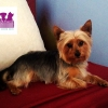 "Yorkshire Terrier ""Tyra"""