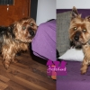 "Yorkshire Terrier ""Charly"""