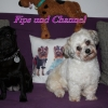 "Malteser Mix ""Fips"" und Mops "" Channel"""