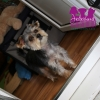 "Yorkshire Terrier ""Mika"""