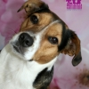 "Jack Russell/Mops Mix ""Johnny"""